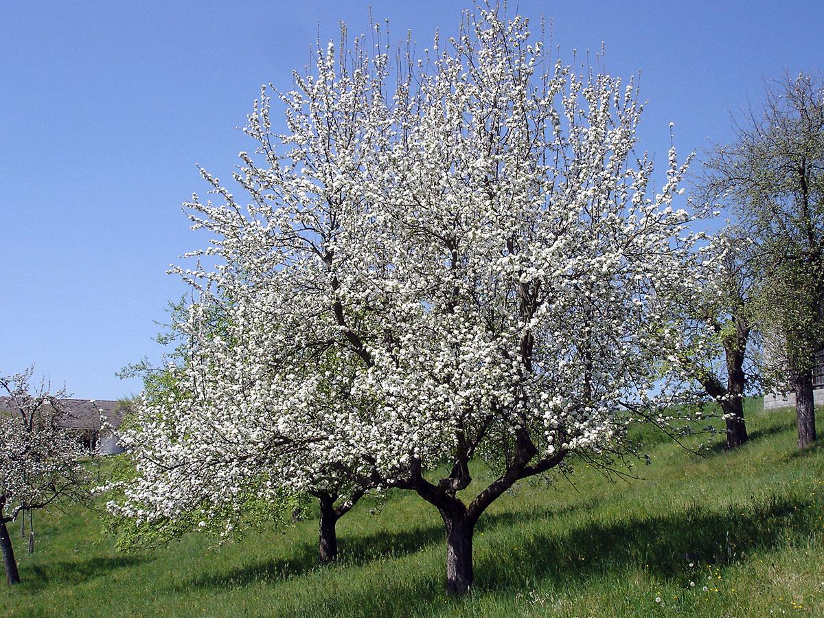 Apfelbaum blühend