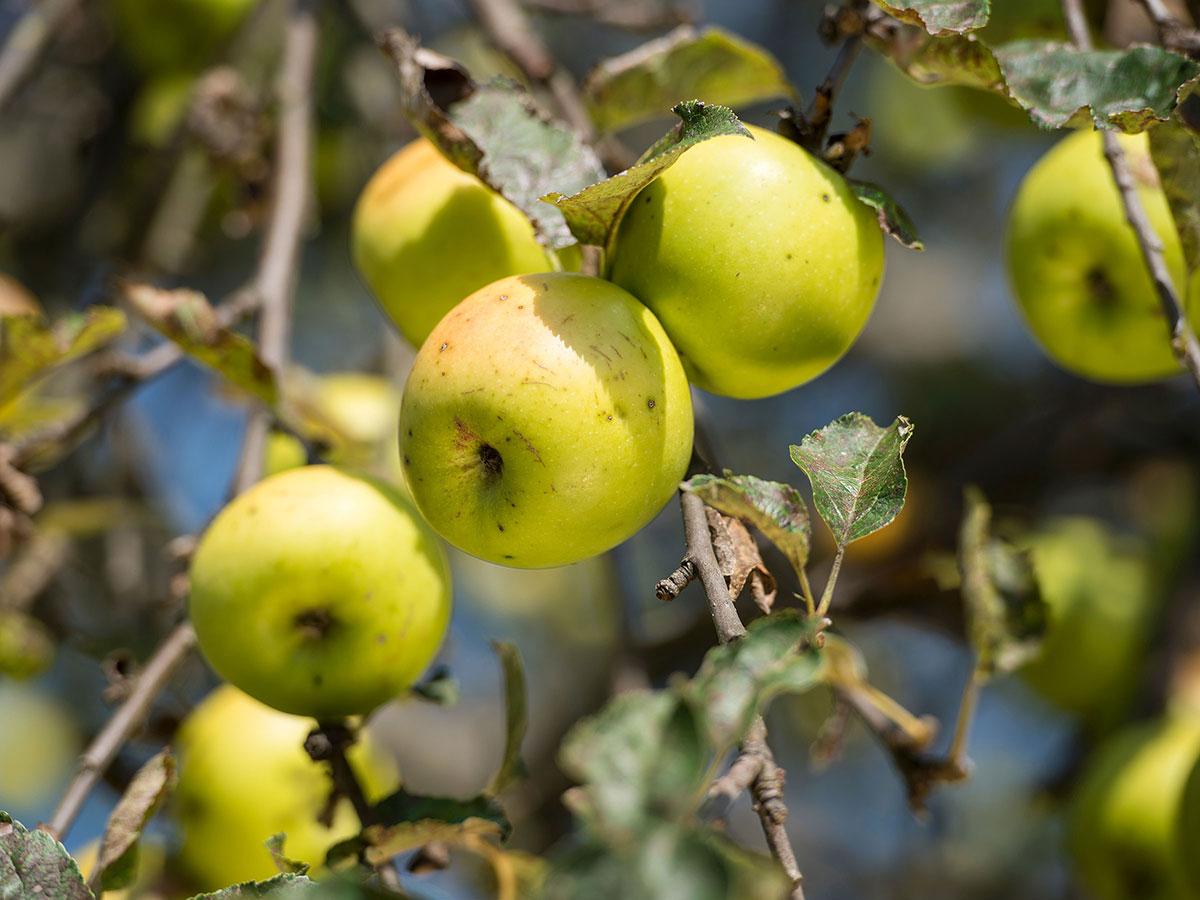 Apfelbaum mit Äpfel